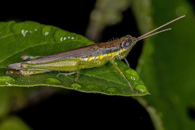 Leptysminae 아과의 성충 이쑤시개 메뚜기