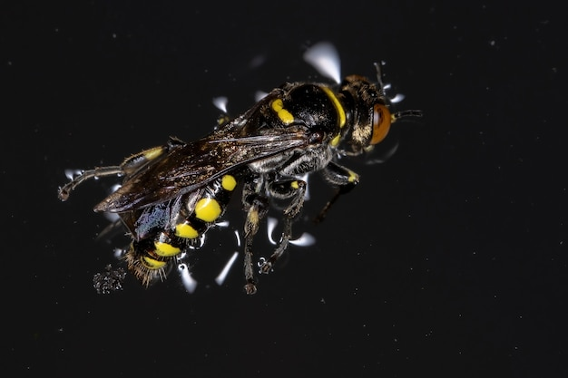 Adult square-headed wasp of the tribe bothynostethini dead drowned in water