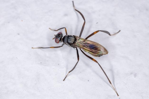 Adult stilt-legged fly of the family micropezidaeadult stilt-legged fly of the family micropezidae