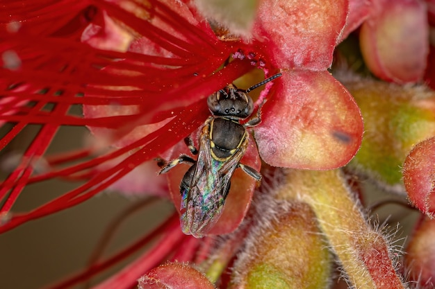 Adult stingless bee of the genus paratrigona in a bottle brush red flower