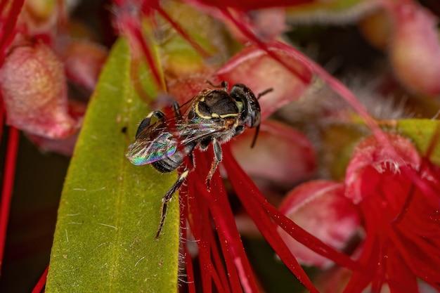 ブラシノキの赤い花のパラトリゴナ属の大人のハリナシミツバチ