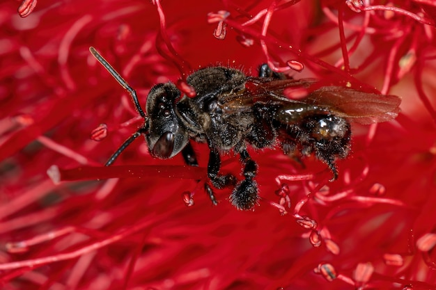 ボトルブラシの赤い花のハリナシバチ属の大人の刺すような蜂