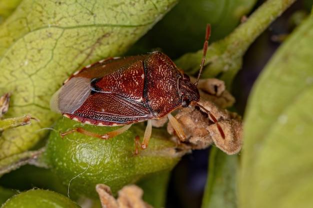 Adult stink bug of the family pentatomidae
