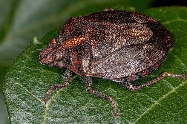 Adult stink bug of the genus antiteuchus