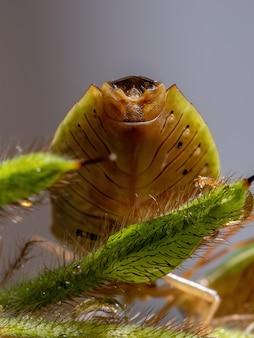 種edessameditabundaの大人の悪臭を放つ虫