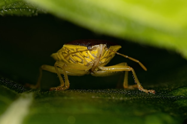 Adult stink bug of the subfamily edessinae