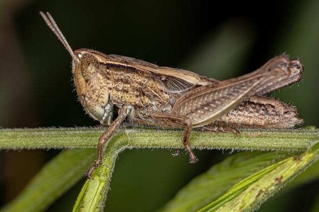 Adult stridulating slant-faced grasshopper of the genus orphulella