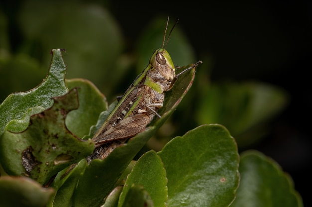 Adult stridulating slantface grasshopper of the tribe scyllinini