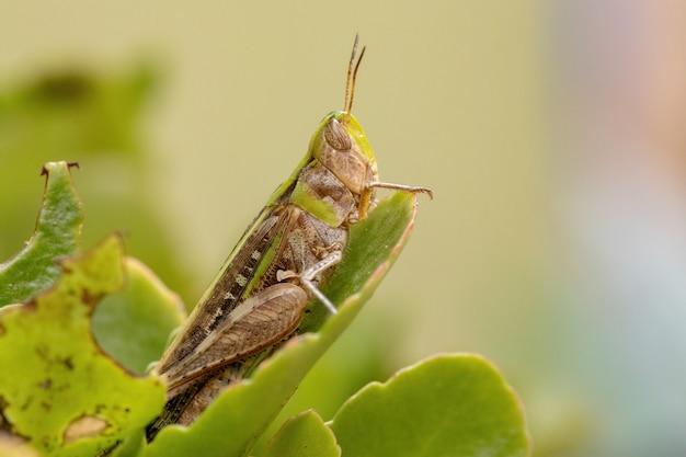 Adult stridulating slantface grasshopper of the tribe scyllinini