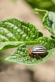 若い緑のジャガイモの葉を食べる大人の縞模様のコロラド州カブトムシ。害虫は農作物を破壊する