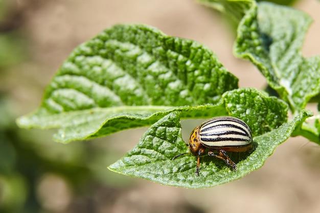 Взрослый полосатый колорадский жук ест молодые зеленые листья картофеля