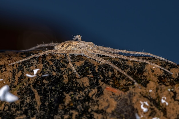 Adult trechaleid spider of the family trechaleidae over the shallow water of a river