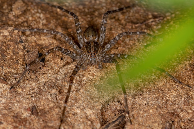 Trechaleid 가족의 성인 trechaleid 거미는 호수 기슭에서 발견되는 수생 거미의 종입니다