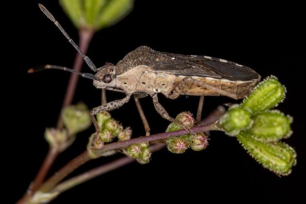 Adult true bug of the suborder heteroptera