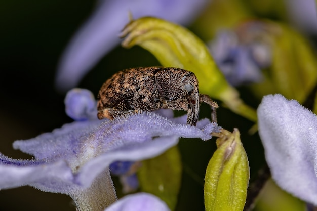 Adult true weevil of the family curculionidae on a skyflower