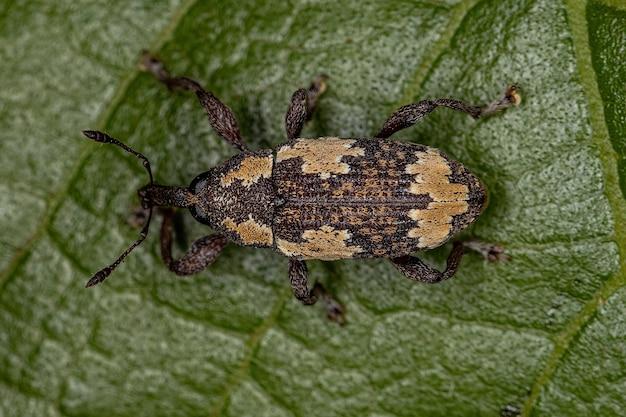 가족 curculionidae의 성인 진정한 바구미