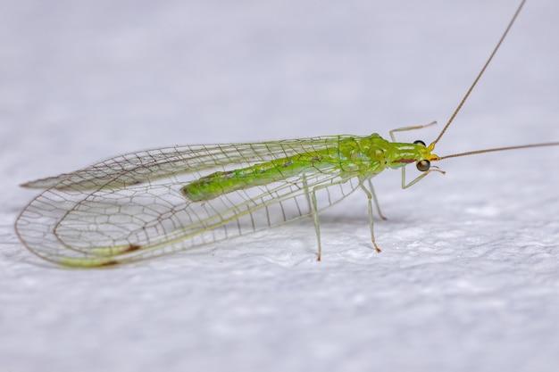 Leucochrysini 부족의 성인 전형적인 녹색 풀잠자리