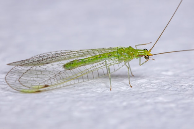 Adult typical green lacewing of the tribe leucochrysini