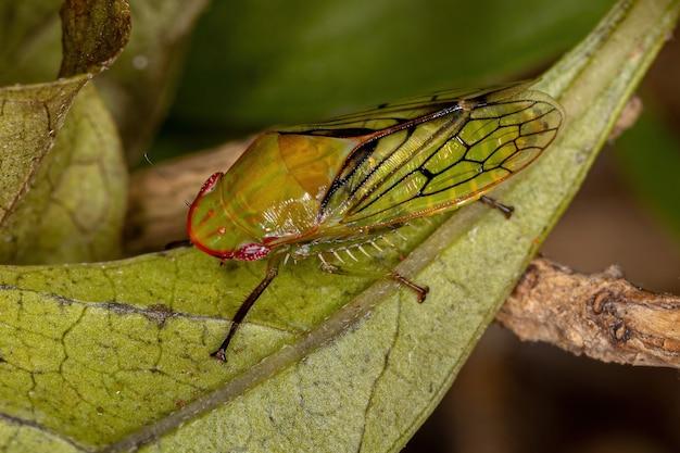 Gyponini 부족의 성인 전형적인 잎벌레