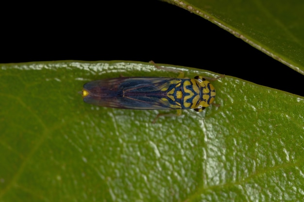 Adult typical leafhopper of the species dilobopterus costalimai