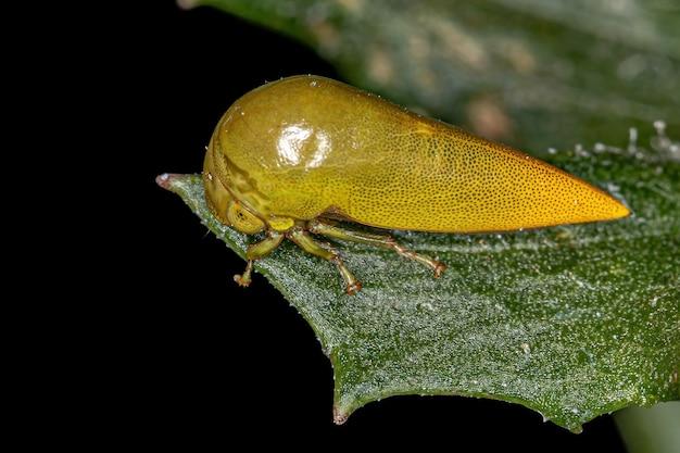 부족 darnini의 성인 전형적인 treehopper