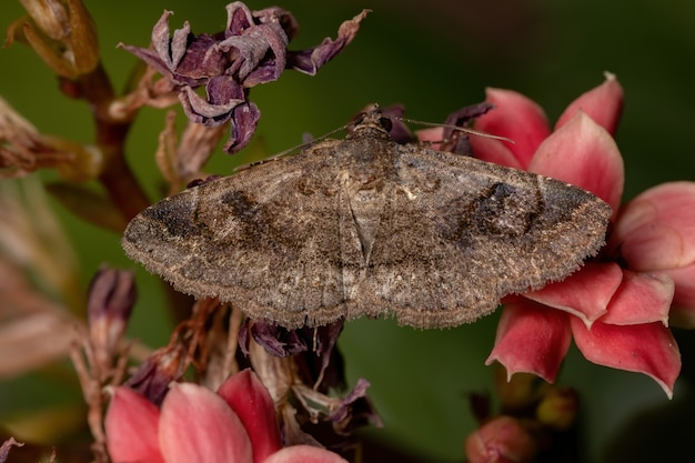 Adult underwing moth of the family erebidae in a plant