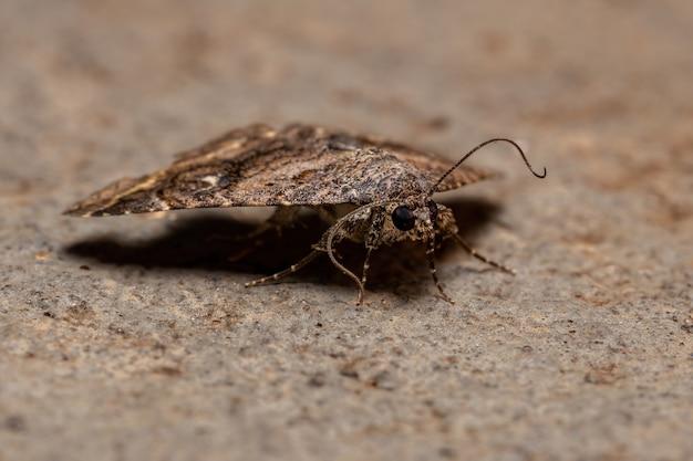 Adult underwing moth of the family erebidae