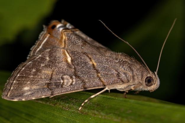 Взрослая подкрыловая бабочка из племени eulepidotini