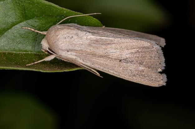 Взрослый мотылек из племени leucaniini