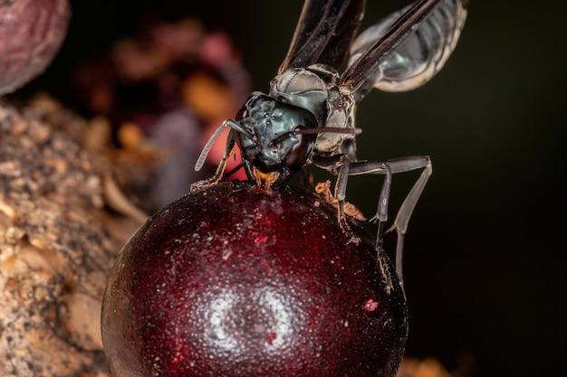 Adult warrior wasp of the genus synoeca