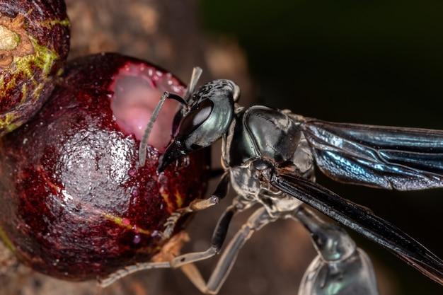 Synoeca属の大人の戦士のハチ