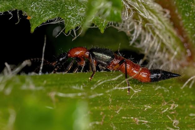 Adult whiplash beetle of the genus paederus