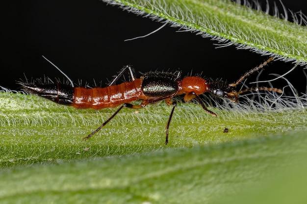 Paederus 속의 성충 whiplash 딱정벌레