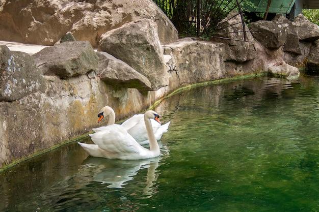 大人の白い鳥の白鳥が水の中を泳ぐ
