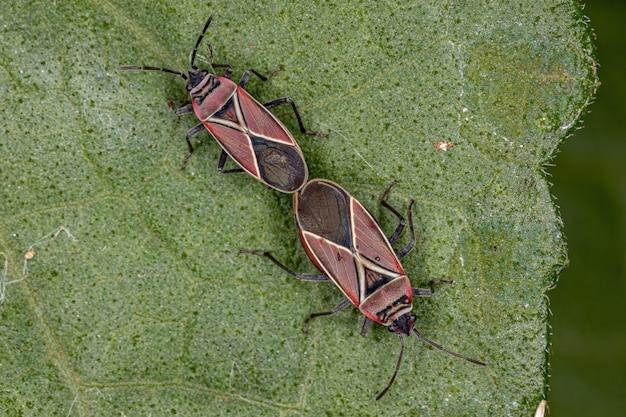 Neacoryphus 속의 성충 흰교배 종자벌레 커플링
