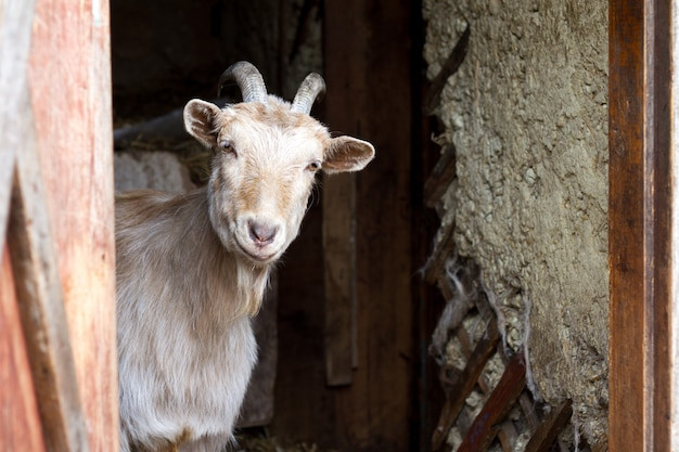 Adult white goat with twisted horns looks out of the doors of the barn