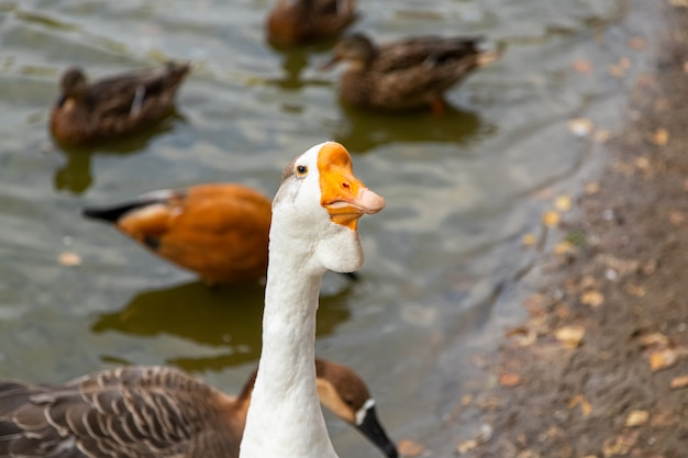 Adult white goose on a pond with floating brown ducks
