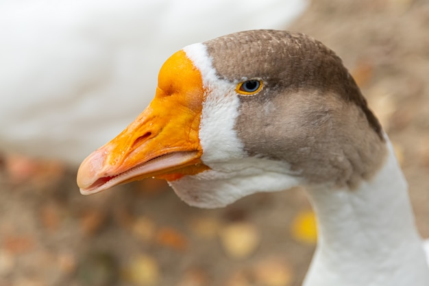 An adult white goose with a brown crest and a yellow beak