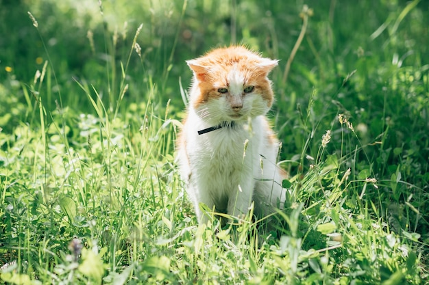 Adult white orange cat sitting on a meadow in the garden