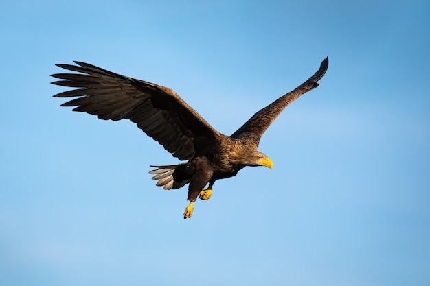 Adult white-tailed eagle flying with blue sky