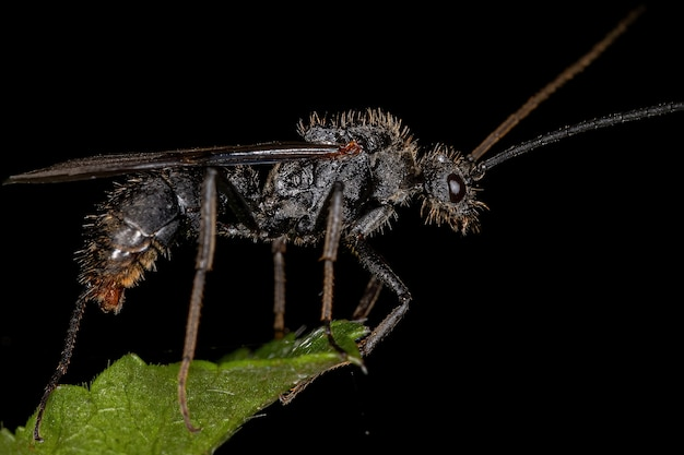 Ectatomma属の成虫の翼のあるオスのectatommineant
