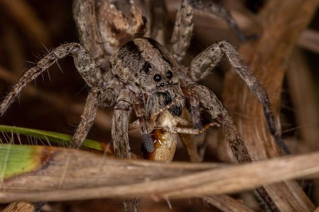가족의 짧은 뿔 메뚜기 님프를 먹이 lycosidae 가족의 성인 늑대 거미 acrididae의