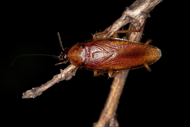 Adult wood cockroach of the family ectobiidae