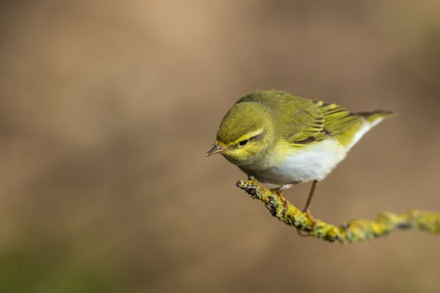 Phylloscopus sibilatrix adulto di wood warbler