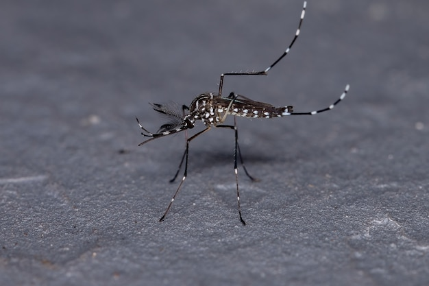 Adult yellow fever mosquito of the species aedes aegypti
