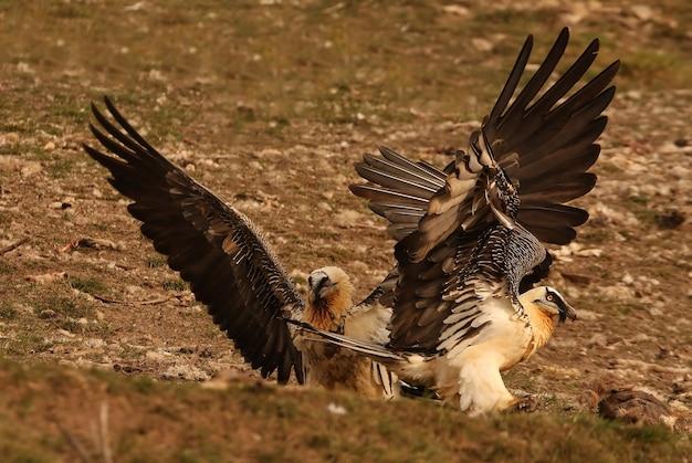Взрослые особи ламмергейера, падальщики, стервятники, птицы, gypaetus barbatus