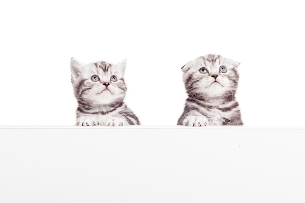 Реклама вашего любимого товара. два любопытных шотландских вислоухих котенка, опираясь на копировальное пространство и глядя в сторону, будучи изолированными на белом фоне
