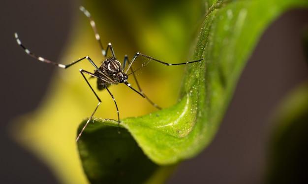 브라질에서 뎅기열을 옮기는 aedes aegypti 모기는 잎, 매크로 사진, 선택적 초점에 자리 잡고 있습니다.
