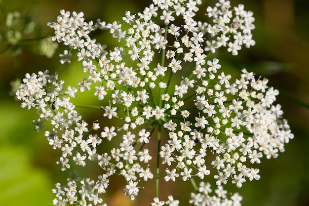 Aegopodium. the most well-known member is the aegopodium podagraria, the ground elder also known as snow-on-the-mountain, bishop's weed, goutweed, native to europe and asia.