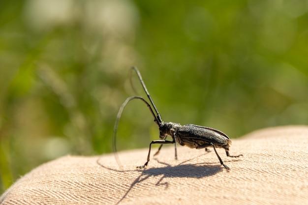 Aegosomascabricorneまたはcerambyxscabricornisaは、ヨーロッパで最大のカミキリムシの1つであるカミキリムシの一種です。農業、庭で作物を破壊する害虫カブトムシ